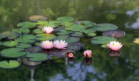 flor loto: hermosa flor de loto en el estanque Foto de archivo