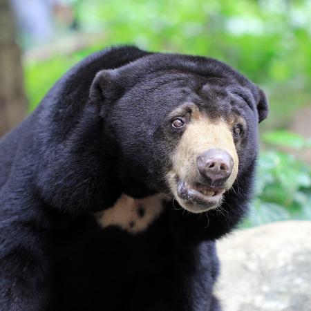 oso negro: Primer plano de un oso negro