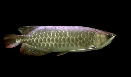 arowana: beautiful arowana on black background