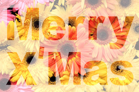 barberton daisy: word merry xmas made from gerbera or barberton daisy flower picture
