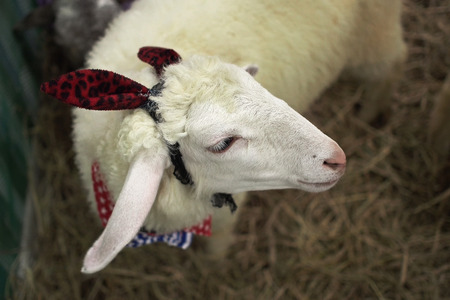 closeup of lovely lamb in cage photo