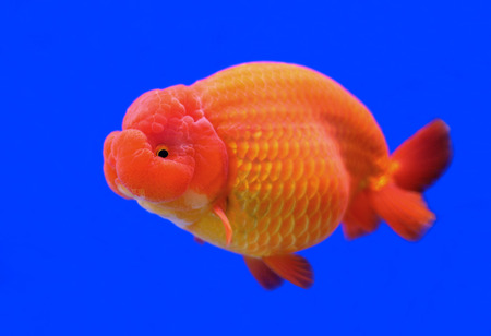 peces de colores: hermosa Ranchu o le�n goldfish cabeza de pecera