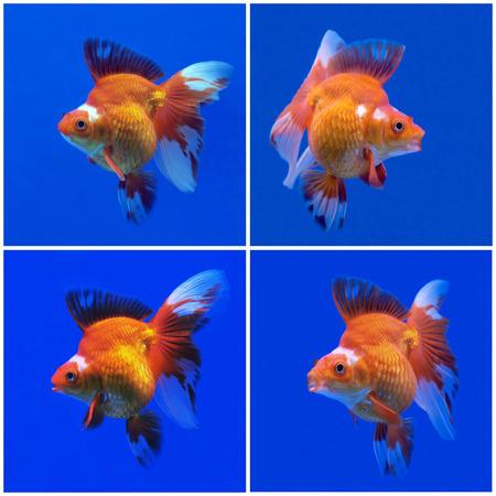 ranchu: collection of beautiful goldfish  in fish tank