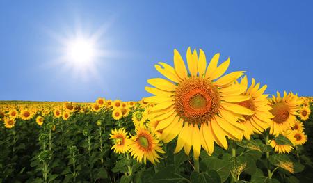 mooie zonnebloem in het veld met zonlicht achtergrond Stockfoto
