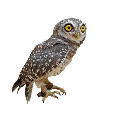 athene: spotted owlet or athene brama bird isolated on white background Stock Photo