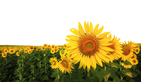 beautiful sunflower in the field isolated on white background Stock Photo