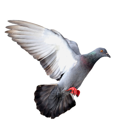 homing: Flying pigeon isolated on white background