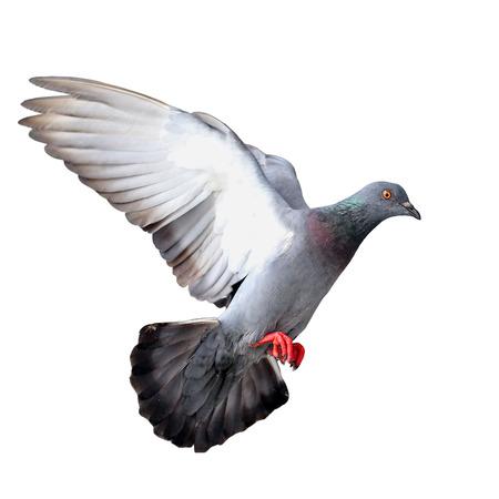 holy  symbol: Paloma del vuelo aislado en el fondo blanco
