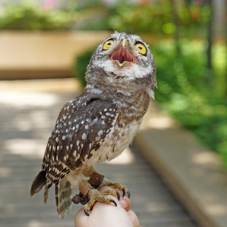 owlet: spotted owlet or athene brama bird on a hand