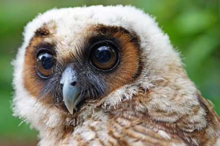 ural owl: closeup of  ural owl or strix uralensis bird