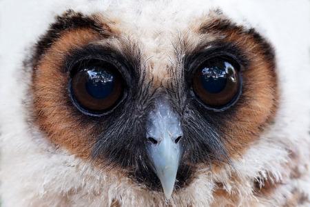 closeup of  ural owl or strix uralensis bird photo