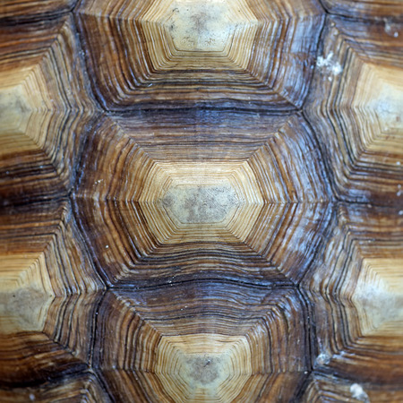 carapace: african spurred tortoise or geochelone sulcata shell as background Stock Photo