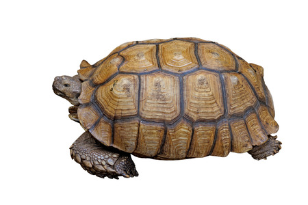spurred: african spurred tortoise or geochelone sulcata isolated on white background Stock Photo