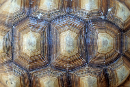 sulcata: african spurred tortoise or geochelone sulcata shell as background Stock Photo