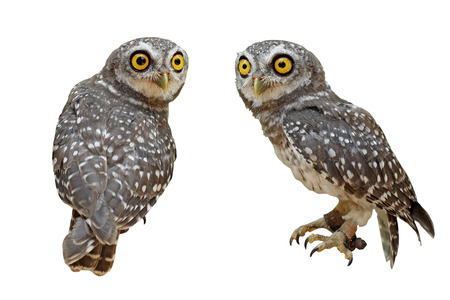 owlet: spotted owlet or athene brama bird isolated on white background Stock Photo