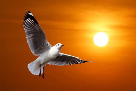 homing: flying seagull with beautiful sunset background