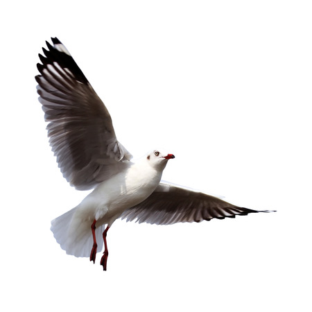 homing: flying seagull isolated on white background
