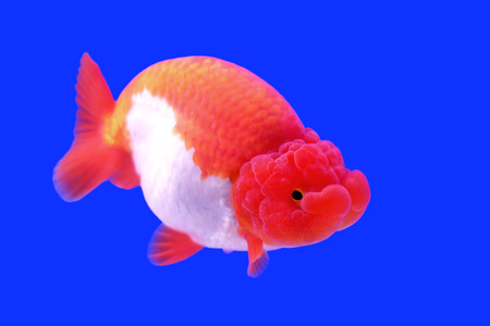 ranchu: beautiful ranchu or lion head goldfish in fish tank Stock Photo