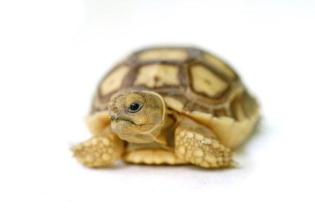 sulcata: african spurred tortoise or geochelone sulcata isolated on white background Stock Photo