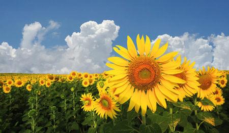 beautiful sunflower in the field with beautiful sky background