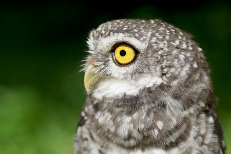 owlet: closeup of spotted owlet or athene brama bird