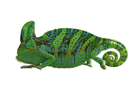 exotic color chameleon or calyptratus  isolated on white background