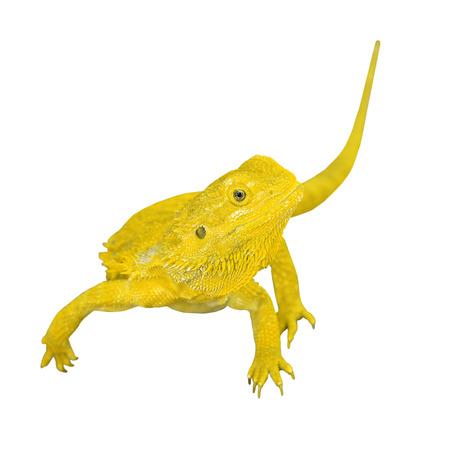 bearded dragon lizard: bearded dragon or pogona vitticeps isolated on white background Stock Photo