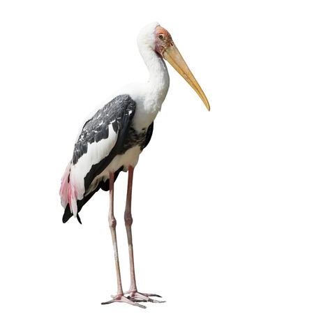 cigue�a: pintado de aves cig�e�a o leucocephala del mycteria aislado en el fondo blanco