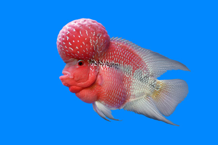 cichlasoma: flowerhorn cichlid or cichlasoma fish in the aquarium