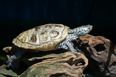 terrapin: diamondback terrapin tortoise with nature background