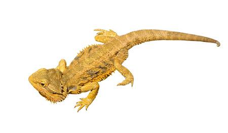 bearded dragon: bearded dragon or pogona vitticeps isolated on white background Stock Photo