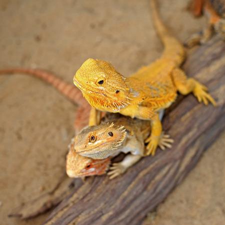 bearded dragon lizard: bearded dragon or pogona vitticeps on nature background