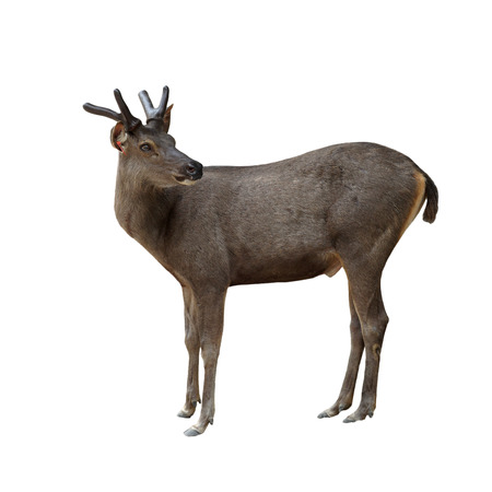 brow: male brow antlered deer in public zoo Stock Photo