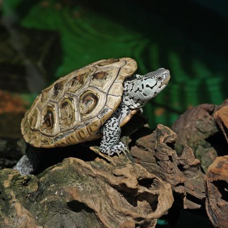 terrapin: diamondback terrapin tortoise with nature background