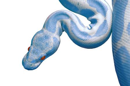 reticulatus: albino reticulated python (python reticulatus) isolated on white background