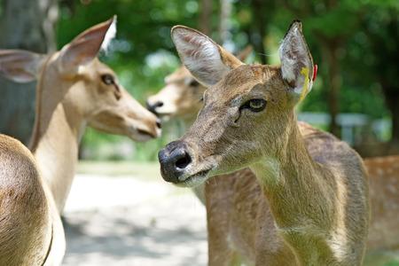 brow: group of brow antlered deer in the public zoo