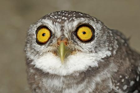 athene: closeup of spotted owlet or athene brama bird
