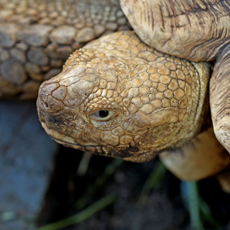 closeup of african spurred tortoise or geochelone sulcata
