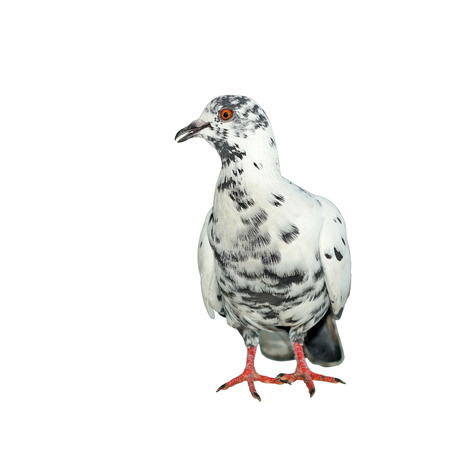 homing: white pigeon  isolated on white background Stock Photo