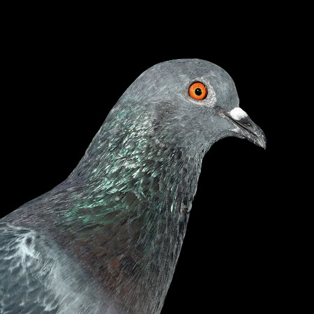 homing: pigeon isolated on black background