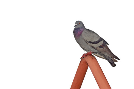 homing: pigeon  isolated on white background