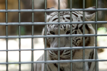 tiger skin: white bengal tiger in the cage of zoo