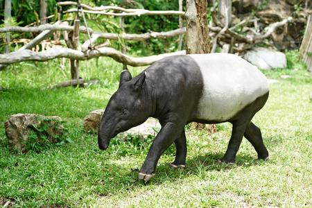 zoo: tapir malayo en el zoológico