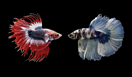 half moon tail: betta fish, siamese fighting fish isolated on black background
