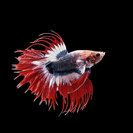 half moon tail: betta fish, siamese fighting fish isolated on black background