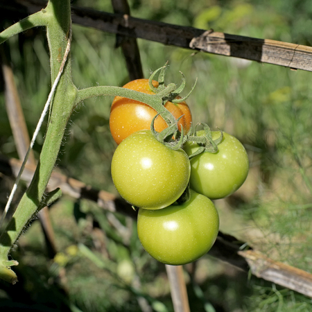 close up of fresh tomatoes on tree plant