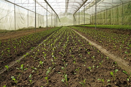 organic lettuce pakchoi in cultivated greenhouse plant