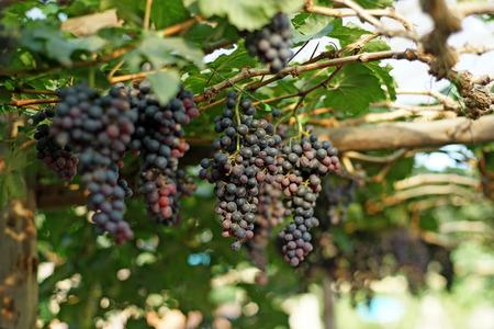 ripe grapes harvest in vineyard Stock Photo