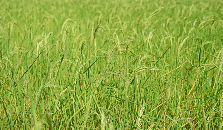 green paddy rice in field plant