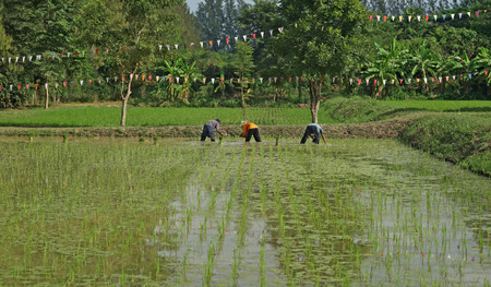 farmers planting rice in the paddy field